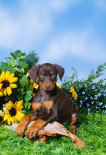 PUP 29 FA0002 01 © Kimball Stock Doberman Pinscher Puppy Laying On Log By Yellow Flowers