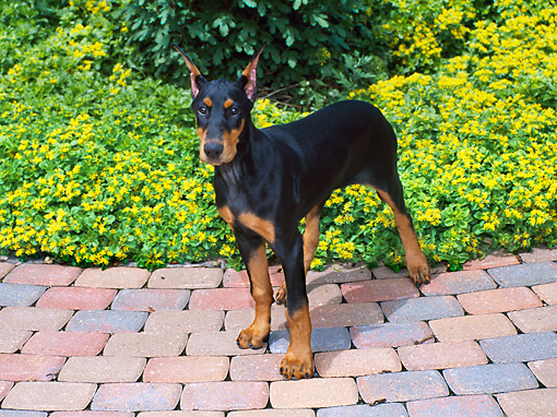 PUP 29 FA0003 01 © Kimball Stock Doberman Pinscher Puppy Standing On Patio By Yellow Flowers