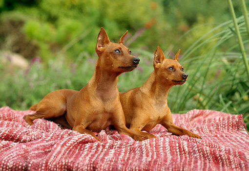 PUP 29 RC0001 01 © Kimball Stock Two Miniature Pinscher Puppies Laying On Red Striped Blanket In Garden