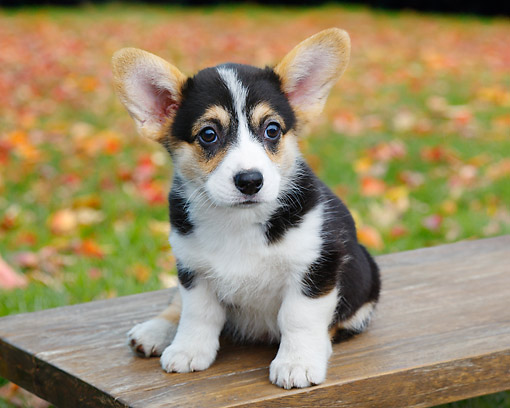 PUP 30 BK0002 01 © Kimball Stock Welsh Corgi Puppy Sitting On Bench By Autumn Leaves