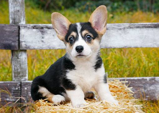PUP 30 BK0005 01 © Kimball Stock Welsh Corgi Puppy Sitting On Hay