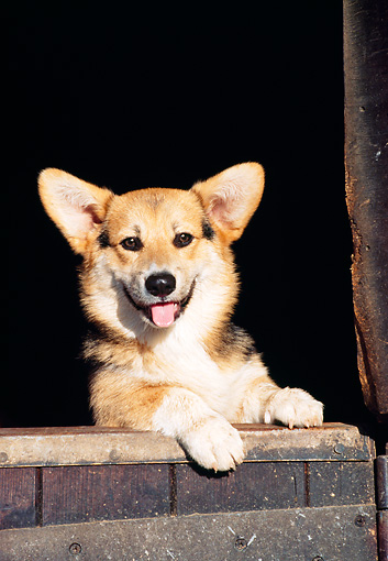 PUP 30 CB0004 01 © Kimball Stock Welsh Corgi Puppy Leaning On Wooden Gate