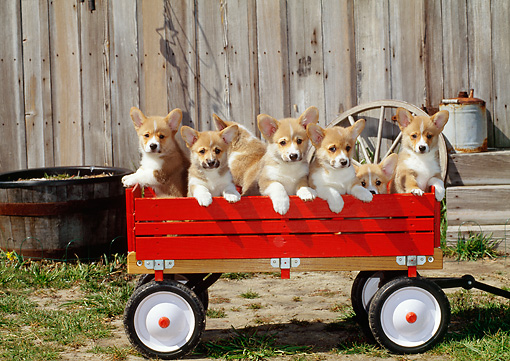 PUP 30 CE0024 01 © Kimball Stock Welsh Corgi Puppies Sitting In Red Wagon