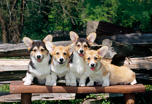 PUP 30 CE0025 01 © Kimball Stock Group Of Pembroke Welsh Corgi Puppies Sitting On Bench