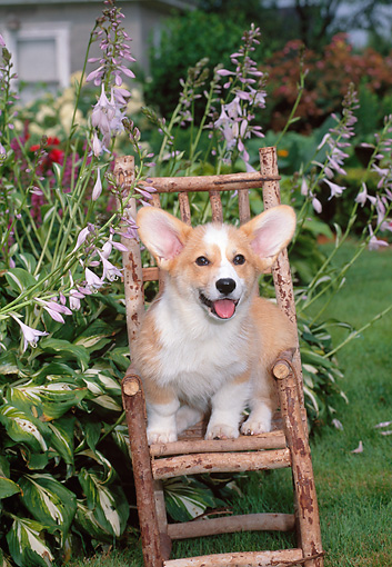 PUP 30 CE0026 01 © Kimball Stock Pembroke Welsh Corgi Puppy Sitting In Twig Chair By Purple Hostas