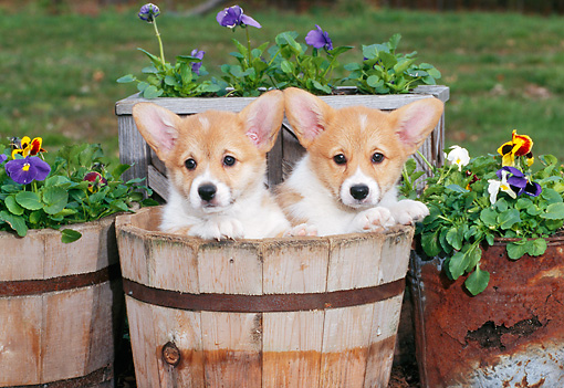 PUP 30 CE0028 01 © Kimball Stock Two Pembroke Welsh Corgi Puppies Sitting In Flower Planter