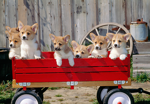 PUP 30 CE0030 01 © Kimball Stock Group Of Pembroke Welsh Corgi Puppies Sitting In Red Wagon