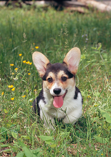 PUP 30 CE0031 01 © Kimball Stock Portrait Of Welsh Corgi Puppy Sitting In Grass And Wildflowers