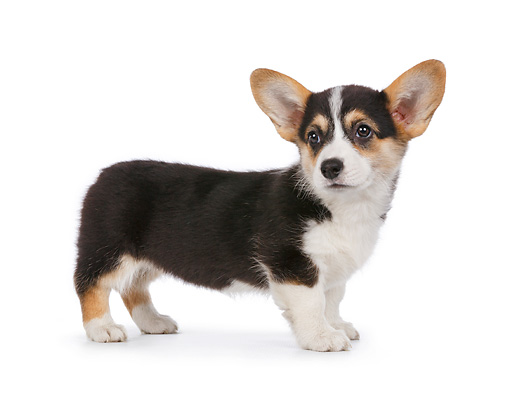PUP 30 RK0057 01 © Kimball Stock Welsh Corgi Puppy Standing On White Seamless