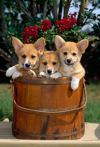 PUP 30 CE0001 01 © Kimball Stock Three Pembroke Welsh Corgi Puppies Sitting In Wooden Bucket By Red Flowers