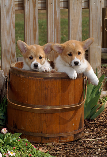 PUP 30 CE0002 01 © Kimball Stock Two Pembroke Welsh Corgi Puppies Sitting In Wooden Bucket By Fence