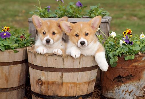 PUP 30 CE0003 01 © Kimball Stock Two Pembroke Welsh Corgi Puppies Sitting In Wooden Planter By Flowers