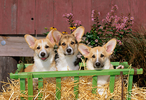 PUP 30 CE0004 01 © Kimball Stock Three Pembroke Welsh Corgi Puppies Sitting In Cart Bucket By Flowers Red Barn