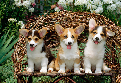 PUP 30 CE0005 01 © Kimball Stock Three Pembroke Welsh Corgi Puppies Sitting On Twig Bench By Flowering Shrubs