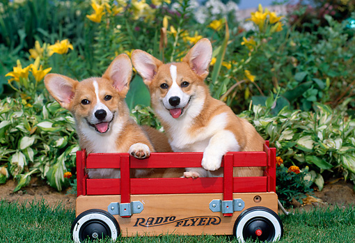 PUP 30 CE0006 01 © Kimball Stock Two Pembroke Welsh Corgi Puppies Sitting In Red Wagon By Flowers
