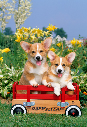 PUP 30 CE0007 01 © Kimball Stock Two Pembroke Welsh Corgi Puppies Sitting In Red Wagon By Flowers