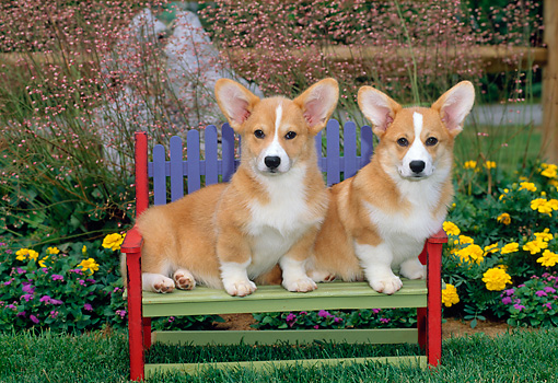 PUP 30 CE0008 01 © Kimball Stock Two Pembroke Welsh Corgi Puppies Sitting On Bench By Flowers