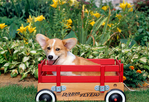 PUP 30 CE0009 01 © Kimball Stock Pembroke Welsh Corgi Puppy Sitting In Red Wagon By Flowers