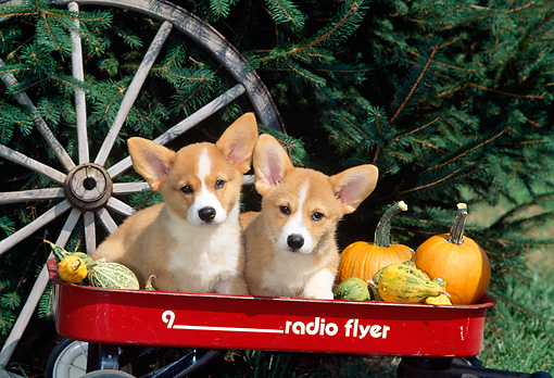 PUP 30 CE0010 01 © Kimball Stock Two Pembroke Welsh Corgi Puppies Sitting In Red Wagon By Gourds Pumpkins