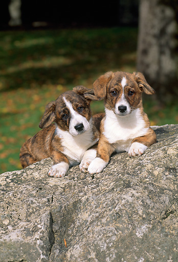 PUP 30 CE0011 01 © Kimball Stock Two Pembroke Welsh Corgi Puppies Laying On Boulder
