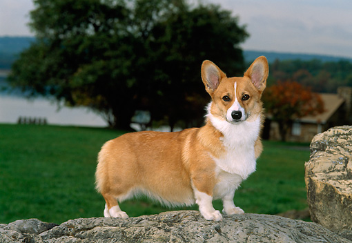PUP 30 CE0012 01 © Kimball Stock Pembroke Welsh Corgi Puppy Standing On Boulder By Tree
