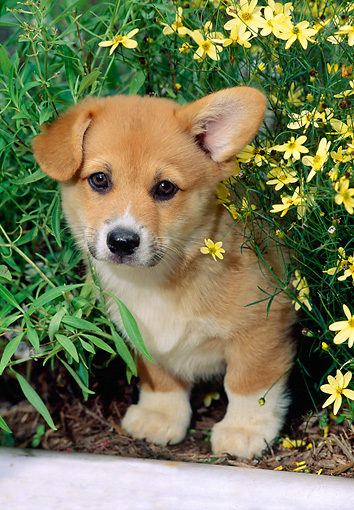 PUP 30 CE0013 01 © Kimball Stock Pembroke Welsh Corgi Puppy Peeking From Flowerbed