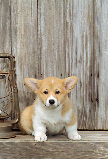 PUP 30 CE0014 01 © Kimball Stock Pembroke Welsh Corgi Puppy Sitting By Lantern And Barn
