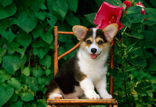 PUP 30 CE0015 01 © Kimball Stock Pembroke Welsh Corgi Puppy Sitting On Chair By Red Flower And Ivy