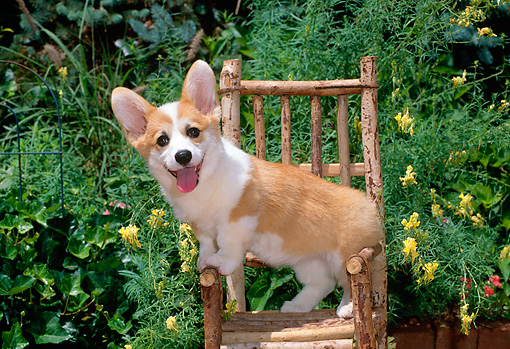 PUP 30 CE0018 01 © Kimball Stock Pembroke Welsh Corgi Puppy Standing On Chair By Yellow Flowers