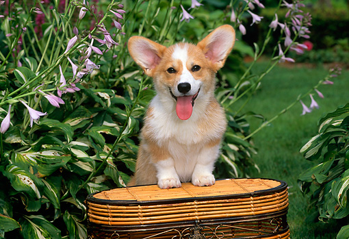 PUP 30 CE0019 01 © Kimball Stock Pembroke Welsh Corgi Puppy Stepping On Wicker Basket By Flowers