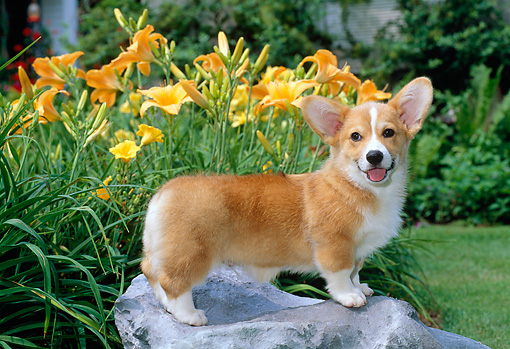 PUP 30 CE0020 01 © Kimball Stock Pembroke Welsh Corgi Puppy Standing On Rock By Flowers