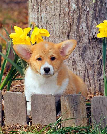 PUP 30 CE0021 01 © Kimball Stock Pembroke Welsh Corgi Puppy Sitting Behind Fence By Flowers And Tree