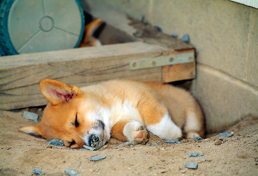 PUP 30 CE0022 01 © Kimball Stock Pembroke Welsh Corgi Puppy Sleeping In Hole In Dirt By House