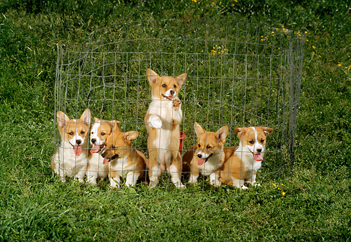 PUP 30 DC0001 01 © Kimball Stock Group Of Pembroke Welsh Corgi Puppies Inside Fence On Grass