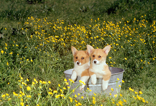 PUP 30 DC0004 01 © Kimball Stock Two Pembroke Welsh Corgi Puppies Sitting In Washtub In Field Of Yellow Flowers