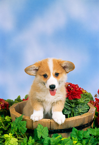 PUP 30 FA0001 01 © Kimball Stock Pembroke Welsh Corgi Puppy Standing In Bucket With Flowers
