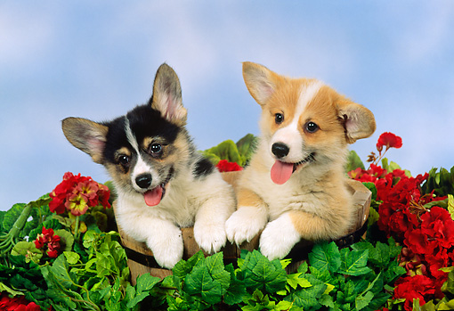 PUP 30 FA0003 01 © Kimball Stock Pembroke Welsh Corgi Puppies Sitting In Bucket With Flowers