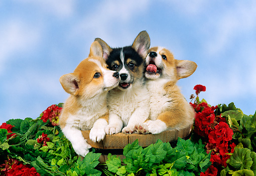 PUP 30 FA0004 01 © Kimball Stock Pembroke Welsh Corgi Puppies Sitting In Bucket With Flowers