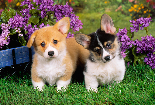 PUP 30 FA0005 01 © Kimball Stock Pembroke Welsh Corgi Puppies Standing On Grass By Purple Flowers