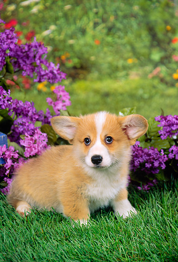 PUP 30 FA0006 01 © Kimball Stock Pembroke Welsh Corgi Puppy Standing On Grass By Purple Flowers