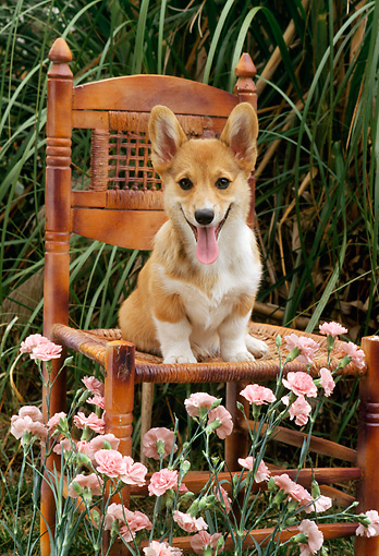 PUP 30 RC0002 01 © Kimball Stock Pembroke Welsh Corgi Puppy Sitting On Wooden Chair In Garden By Pink Flowers