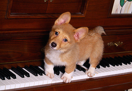 PUP 30 RK0002 01 © Kimball Stock Welsh Corgi Puppy Standing On Piano Keys