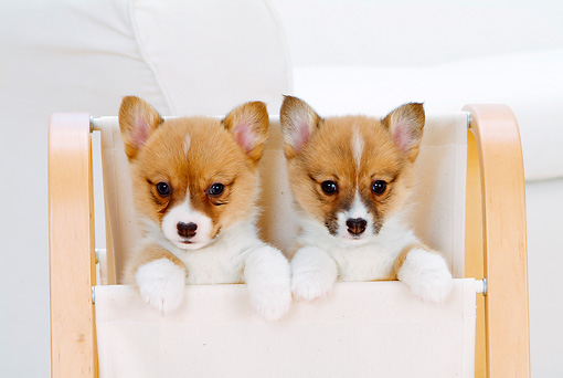 PUP 30 YT0003 01 © Kimball Stock Two Pembroke Welsh Corgis Peeking Out Of Magazine Rack