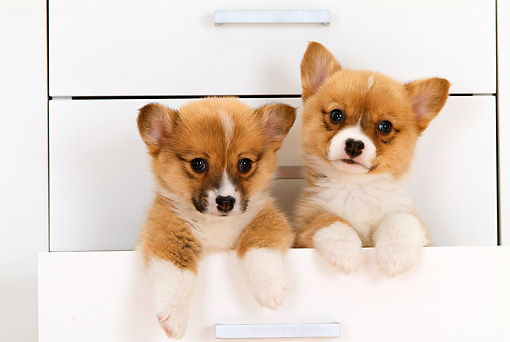 PUP 30 YT0004 01 © Kimball Stock Two Pembroke Welsh Corgis Peeking Out Of White Drawer