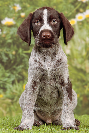 PUP 31 JE0001 01 © Kimball Stock German Wirehaired Pointer Puppy Sitting On Grass By Mums