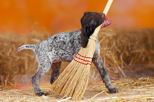PUP 31 PE0001 01 © Kimball Stock German Shorthaired Pointer Playing With Broom