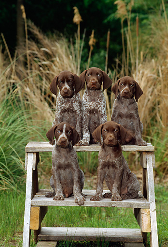 PUP 31 CE0001 01 © Kimball Stock Five German Shorthaired Pointer Puppies Sitting On Steps By Tall Grasses