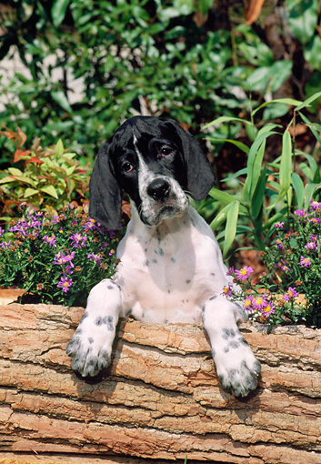 PUP 31 CE0003 01 © Kimball Stock Pointer Puppy Standing On Log By Purple Flowers And Shrubs