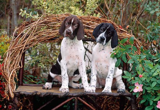 PUP 31 CE0005 01 © Kimball Stock Two Pointer Puppies Sitting On Twig Bench By Shrubs