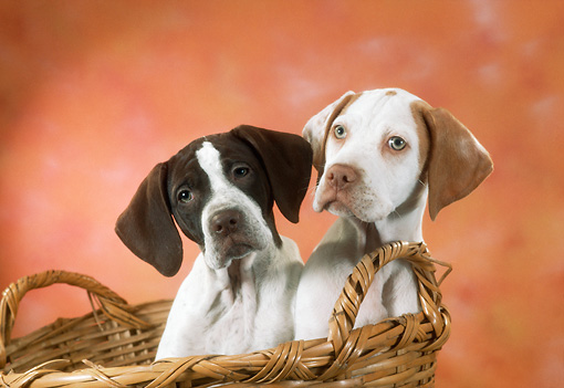 PUP 31 RC0005 01 © Kimball Stock Two English Pointer Puppies Sitting In Wicker Basket